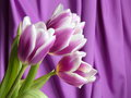 Tulip flower valentines mothers day stock photos or easter card white pink on purple background Royalty Free Stock Image