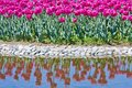 Tulip flowerbed in the pond Stock Photos
