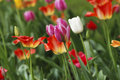 Tulip flowerbed wite on the Royalty Free Stock Photo