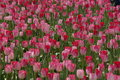 Tulip flowers the in bloom Royalty Free Stock Image