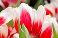 Tulip flowers close up of Royalty Free Stock Images