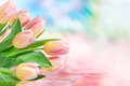 Tulip flowers close up Royalty Free Stock Photo
