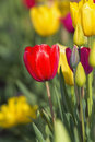 Tulip flowers in field closeup red flower focus with blurred background of colorful tulips blooming during spring season Royalty Free Stock Photo