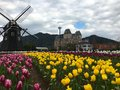 Tulip flowers field in front of a windmill Royalty Free Stock Photo