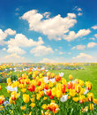 Tulip flowers field over blue sky Royalty Free Stock Photo