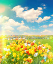Tulip flowers field over cloudy blue sky on sunny day. Retro sty Royalty Free Stock Photo