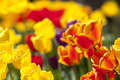 Tulip flowers in garden with bright colors in yellow and red Royalty Free Stock Photo