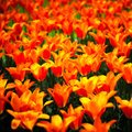 Tulip flowers garden in spring background or pattern red yellow texture Royalty Free Stock Photo