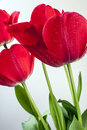 The tulip is flowers in the genus tulipa a perennial bulbous plant with showy Stock Image