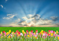 Tulip flowers and green field beautiful spring landscape Stock Images
