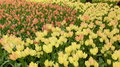Tulip flowers horizontal red and yellow many Stock Photography