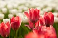 Tulip flowers red and white field background Stock Image