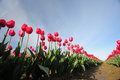 Tulip flowers in rows in a farm in washington Stock Photo