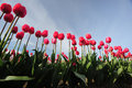Tulip flowers in rows in a farm in washington Royalty Free Stock Photography