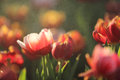 Tulip flowers in sunset and raindrop Royalty Free Stock Photo