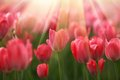 Tulip flowers in sunshine red rays Royalty Free Stock Photo