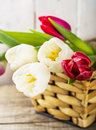 Tulip flowers in white basket Royalty Free Stock Photo