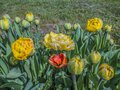 Tulip flowers in yellow and red. Royalty Free Stock Photo