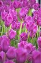 Tulip garden beautiful filled with purple tulips Stock Photos