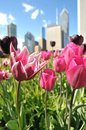 Tulip garden in Chicago Royalty Free Stock Images