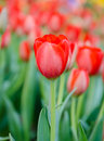 Tulip in the garden red tulips is growing Stock Image