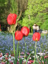 Tulip garden some red in a beautiful Stock Image
