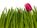 Tulip in the grass isolated on white background green Stock Image