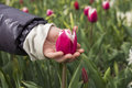 Tulip in the hand of a child Royalty Free Stock Photo