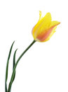 Tulip isolated Royalty Free Stock Photo