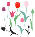 Tulip isolated objects on white background vector illustration eps Stock Photo
