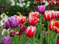 Tulip in the language of flowers tulips have their own meaning and symbolism in general the flowers mean perfect love and a true Royalty Free Stock Photos