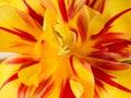 Tulip macro of yellow and orange open Stock Photo