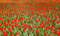 Tulip parterre the background of red tulips Stock Photos