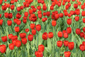 Tulip parterre the background of red tulips Royalty Free Stock Image