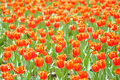 Tulip parterre the background of red tulips Stock Photography