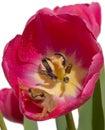 Tulip perfeitamente cor-de-rosa do ~ da HOME da râ de árvore isolado no branco Fotografia de Stock