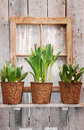 Tulip pots in window Stock Photography