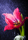 Tulip in the rain Royalty Free Stock Photography