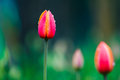 Tulip in the rain Royalty Free Stock Photo
