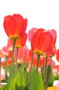 Tulip red in morning time Stock Images