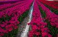 Tulip Reflections III Royalty Free Stock Photo