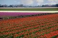 Tulip rows in springtime Holland Stock Photography