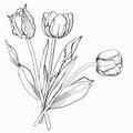 Tulip sketch czarny i biały Obraz Royalty Free