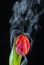 Tulip with smoke Royalty Free Stock Photo