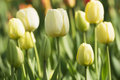 Tulip in spring time Royalty Free Stock Photo