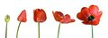 Tulip stages Royalty Free Stock Photo