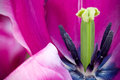 Tulip Stamen Macro Royalty Free Stock Photo