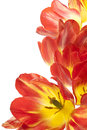 Tulip studio shot of red and yellow colored flowers isolated on white background large depth of field dof macro national flower of Royalty Free Stock Photo