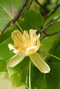 Tulip tree Royalty Free Stock Image