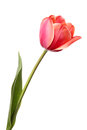 Tulip tulips beautiful single pink flower isolated on a white background Royalty Free Stock Image